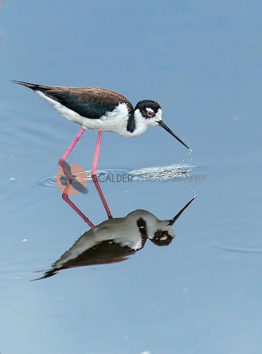 Black-necked Stilt dipping beak in water with full reflection