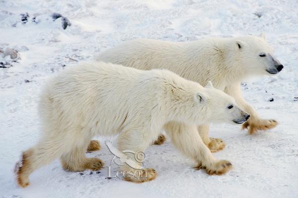 Polar Bear cubs along the shores of Hudson's Bay, Canada.