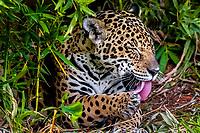 jaguar, Panthera onca, licking, cleaning paw, Espirito Santo, Brazil