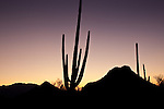 Silhouette of a Saguaro cactus in Saguaro National Park - Tucson Mountain District in Tucson, AZ, USA