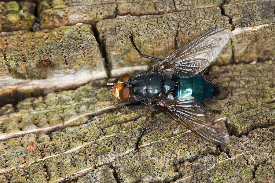 Totenfliege, Schmeißfliege, Friedhofsfliege, Cynomya mortuorum, Cynomya hirta, Bluebottle Blow Fly, Blowfly, Schmeißfliegen, Calliphoridae, blowflies