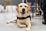 WOLCOTT, CT 072921JS18 Lola, the comfort dog for the Watertown Police Department, looks as Mallard, the Wolcott Police Department's therapy dog is sworn in during a ceremony Thursday at the Rietdyke Senior Center in Wolcott. <br /> Jim Shannon Republican American