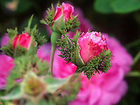 Rose bud of Chapeau du Napoleon - Crested Moss, or 'Cristata' in garden with sepals unfolding