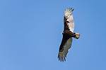 Damon, Texas; a turkey vulture flying overhead against a blue sky in early morning sunlight