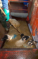 Dipping Swaledale ewes in a mobile dip, Whitewell, Lancashire with dipping pole and protective clothing.