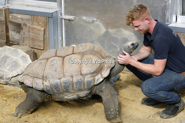 Foto: VidiPhoto<br /> <br /> RHENEN – De 31 Aldabra schildpadden van Ouwehands Dierenpark in Rhenen hebben een gloednieuw tropisch verblijf. Donderdag werd dat onder grote belangstelling geopend. Ouwehands heeft de grootste collectie reuzenschildpadden ter wereld.De Aldabra is de grootste landschildpad die er bestaat. Ze kunnen 170 kilo zwaar en 80 jaar oud worden. De oudste en bekendste schildpad van Ouwehands is Sjaak (41 jaar en ruim 100 kilo). Hij laat zich graag aaien door de verzorgers. In het verblijf is het constant 29 graden, met een hoge luchtvochtigheidsgraad. Aldabra schildpadden werden in de tijd van de VOC meegenomen als voedsel aan boord omdat ze bijna een jaar zonder voedsel en water kunnen. Foto: Dierverzorger Erik knuffelt met Sjaak.