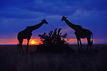 Two giraffes feed on an acacia shrub as the sun sets on the horizon in Maasai Mara Game Reserve, Kenya.