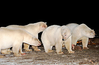 polar bears, Ursus maritimus, feeding on bowhead whale, Balaena mysticetus, meat at night, 1002 coastal plain of the Arctic National Wildlife Refuge, Alaska, polar bear, Ursus maritimus