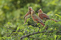 Cardinal chicks leave the nest when they are 9 to 10 days old. The parents continue to feed them for 25 to 56 days when the young become independent, & have learned how to feed themselves.