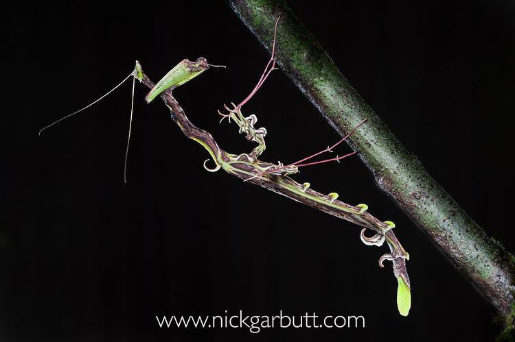 Dragon or spiky flower-mimic mantis (Toxodera berieri). Active at night. Danum Valley, Sabah, Borneo.