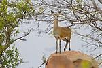 Klipspringer (Oreotragus oreotragus) female on rock, Kruger National Park, South Africa