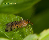 1F09-501z  Scorpionfly, Panorpa spp.