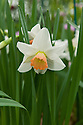 Narcissus 'Bilbo', a short daffodil with white petals and an orange cup.