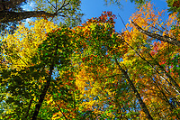 Mixed Hardwood Forest In Autumn In The Adirondack Mountains Of New York State