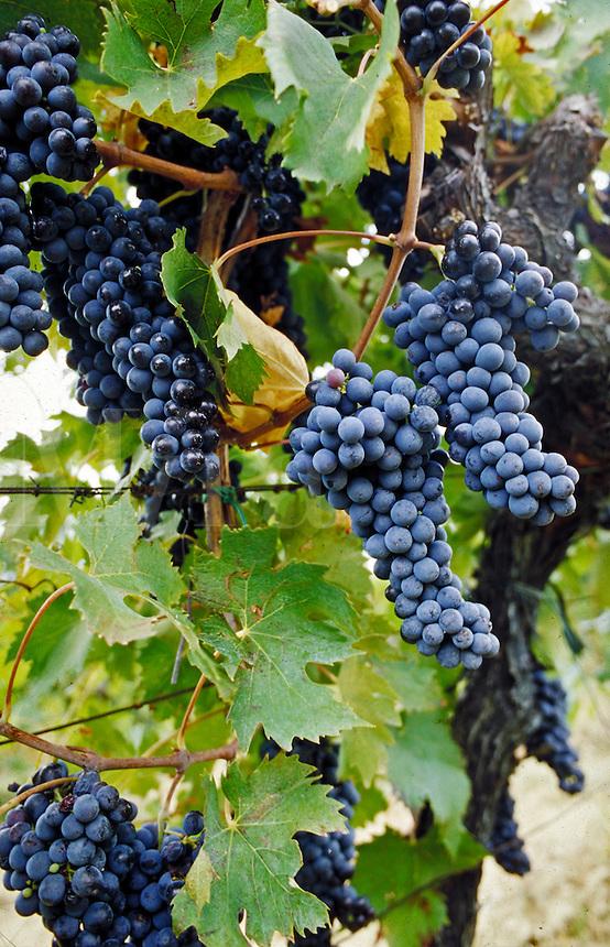 Red grapes on the vine. Villa D'Elsa, Italy Vineyards.