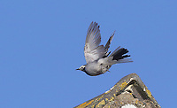 COPY BY TOM BEDFORD<br /> Pictured: The masked wagtail seen on house roofs in the village of Camrose, west Wales, UK. Wednesday 30 November 2016<br /> Re: Birdwatchers from all over Britain have turned up in a tiny Welsh village to see the first recorded visit of a masked wagtail.<br /> The species is normally found in Kazakhstan, Iran and Afghanistan but may have been brought here by the icy temperatures.<br /> It was spotted on the roof of a semi-detached house in Camrose, Pembrokeshire, yesterday(tues) but local birdwatchers were unable to identify it.<br /> An expert arrived and the bird was confirmed as the masked wagtail which has never been seen before in the British Isles.<br /> More than 40 twitchers drove through the night and slept in their cars to get the first glimpse of the bird seen flying between chimney pots in the village.<br /> Police were called because so many visitors turned up in the village, blocking country lanes and disturbing locals.<br /> But most locals welcomed the  birdwatchers, even making them cups of tea as they kept watch on the bird with binoculars and cameras.