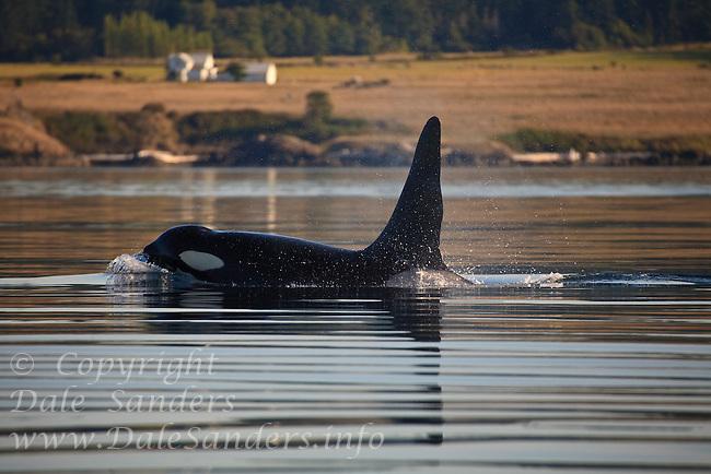 A large bull Killer Whale (Orcinus orca ) surfaces off the San Juan Islands in Washington, USA.