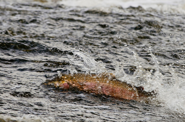 Coho or Silver Salmon (Oncorhynchus kisutch) attempting to swim across shallow area of river while on fall spawning migration up freshwater river.  Pacific Northwest.