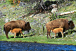 American bison with calves, Yellowstone National Park, Wyoming