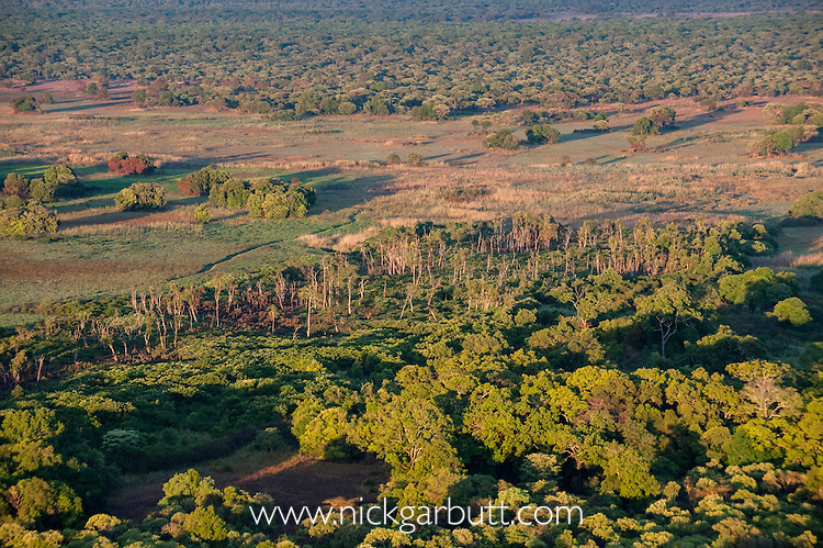 Aerial view of the distinct patch of Mushitu' or ever-green swamp forest, where millions of Straw-coloured Fruit Bats (Eidolon helvum) migrate too (Oct - Dec) and roost during the day. Kasanka National Park, Zambia.