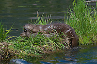 Northern River Otter (Lontra canadensis) family--mother with pup--on grass covered log along edge of lake.  Western U.S., summer.  Mom has just lifted this pup up onto the log by grasping the fur on the back of the neck..