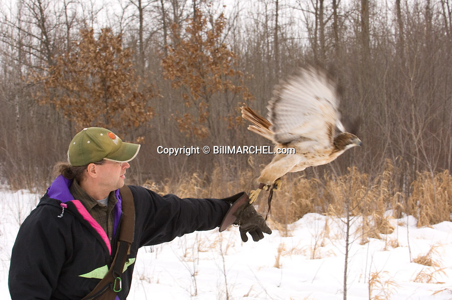00432-028.07 Falconry (DIGITAL) Falconer is casting a red-tailed hawk from fist to start a hunt during winter.  Raptor, bird of prey.  H5R1