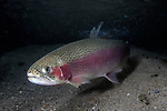 Rainbow Trout full body view 45 degrees to camera facing left on sand bottom
