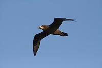 Great-winged Petrel in flight off Wollongong