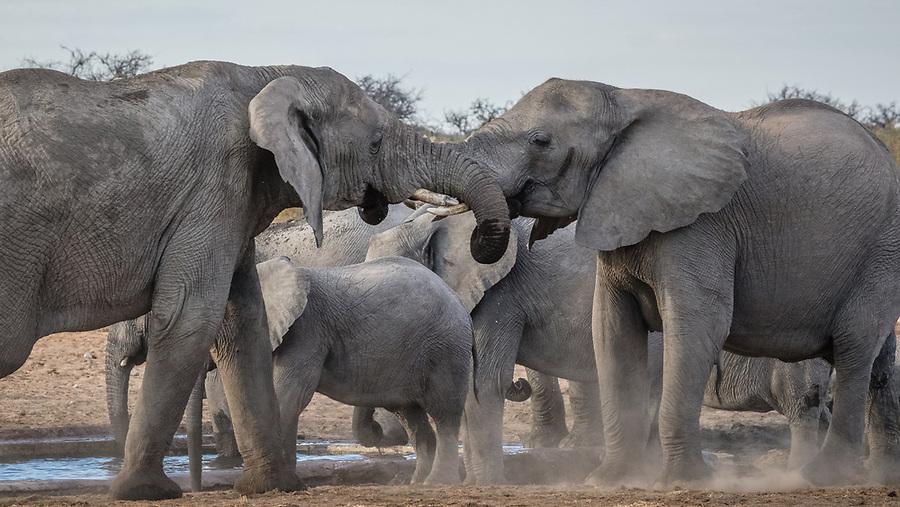Elephant Bonding At A Waterhole.