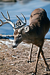 Large Whitetail Deer Buck with full rack late Winter