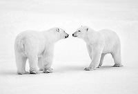 Two polar bears meeting on the tundra