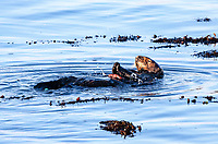 A sea otter (Enhydra lutris nereis) is using a rock to break open a shell in a wetland area of the Monterey Bay National Marine Sanctuary.
