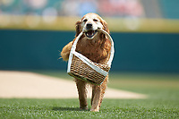"""Jake the Diamond Dog"" carries a basket in house mouth prior to the start of the International League game between the Indianapolis Indians and the Columbus Clippers at Huntington Park on June 17, 2018 in Columbus, Ohio. The Indians defeated the Clippers 6-3.  (Brian Westerholt/Four Seam Images)"