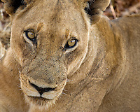 ioness, Panthera leo, South Luangwa National Park, Zambia, Africa