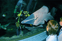 A guitar Shark, Rhinobatos typus, is found in the tropical Indo-Pacific Ocean They eat mostly shellfish and small fish. They live well in aquariums. (This one at Underwater World, Guam) This one is being fed small fish by a biologist as tourists look on.
