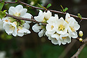 Flowering or Japanese quince (Chaenomeles speciosa 'Nivalis'), early April.