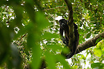 Mantled Howler Monkey (Alouatta palliata) female in tree, Pipeline Road, Gamboa, Panama