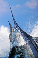 Blue Marlin, Makaira nigricans, off Kona Coast, Big Island, Hawaii, Pacific Ocean, Digital Composite