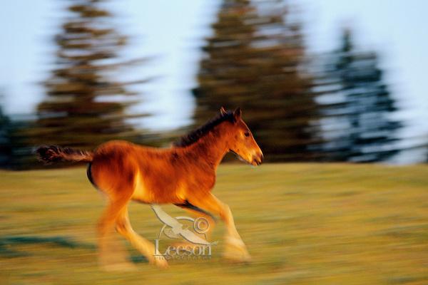 Wild Horse colt or foal running in alpine meadow.  Pryor Mountain Wild Horse Refuge, MT. (Equus caballus)