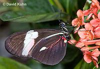 0419-1104  Sapho Longwing, Heliconius sapho  © David Kuhn/Dwight Kuhn Photography