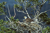 Bald eagle nest with adult and young eaglet.