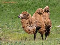 0620-1002  Bactrian Camel, Camelus bactrianus  © David Kuhn/Dwight Kuhn Photography