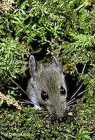 MU12-079z  Deer Mouse - young adult six weeks old - Peromyscus maniculatus