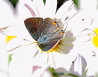 Male gray hairstreak