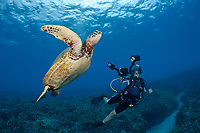 An endangered species, green sea turtles, Chelonia mydas, are a common sight around Maui, Hawaii, USA, Pacific Ocean, MR