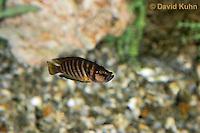 0116-0913  Calvus Cichlid, Lake Tanganyika Cichlid, Altolamprologus calvus  © David Kuhn/Dwight Kuhn Photography.