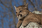 Cougar cub (Puma concolor) sitting on a rock watching something in the distance.  Winter.   Minnesota.
