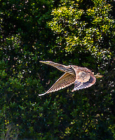 American Bittern in flight with wings in downstroke against tree background