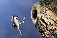 Kohlmeise, Nesthöhle, Nisthöhle, Baumhöhle, Bruthöhle, Astloch, Nest, Flug, Flugbild, fliegend, fütternd, mit Futter, Kohl-Meise, Meise, Meisen, Parus major, Great tit, tit, tits, nest, flight, flying, breeding burrow, La Mésange charbonnière