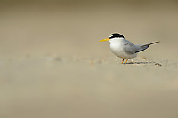 Least Tern (Sterna antillarum), adult, South Padre Island, Texas, USA